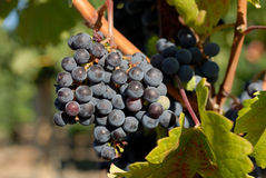 Violet wine grapes Stock Photography