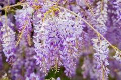 Violet Wisteria-bloemen in de lente Royalty-vrije Stock Afbeelding