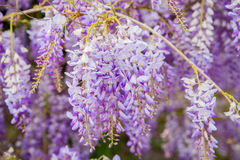 Violet Wisteria flowers in spring.  Royalty Free Stock Image