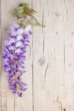 Violet wisteria flowers Royalty Free Stock Images