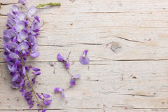 Violet wisteria flowers Stock Photos