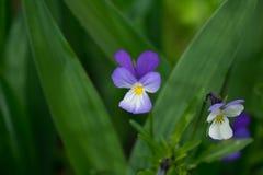 /violet/wittrokiana Виолы/ стоковое фото rf