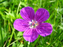Violet wood flower (Geranium sylvaticum) Stock Image
