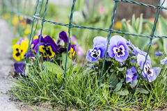 Violet,yellow and blue  violets in a spring  garden Royalty Free Stock Photography