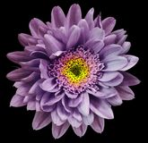 Violet-yellow chrysanthemum flower isolated on black background with clipping path. Closeup no shadows. For design. royalty free stock photography