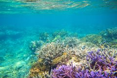 Violet and yellow coral reef formation on sea bottom. Warm blue sea view with clean water and sunlight.