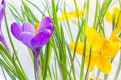 Violet and yellow crocus close up Royalty Free Stock Images