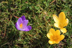 Violet and yellow crocus flowers Royalty Free Stock Photo