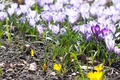 Violet and yellow crocuses flowers macro view. Beautiful spring time garden still life. Selective focus photography royalty free stock photos