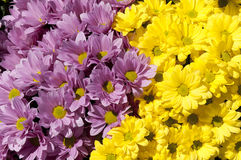 Violet and yellow daisies Royalty Free Stock Photo