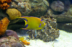 Violet and yellow fish Royalty Free Stock Photo
