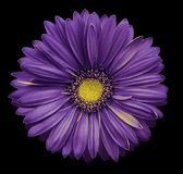 Violet-yellow gerbera flower, black isolated background with clipping path. Closeup. no shadows. For design. Nature Royalty Free Stock Image