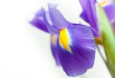 Violet yellow iris blueflag flower Stock Images
