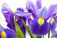 Violet yellow iris blueflag flower Royalty Free Stock Photos