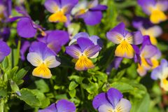 Violet yellow pansies Royalty Free Stock Photos