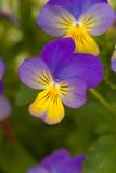 Violet yellow pansies Stock Images