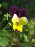 Violet and yellow pansy. Close-up royalty free stock photography