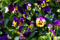 Violet and yellow pansy Stock Photography