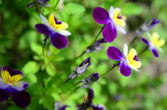 Violet-yellow violets on the green grass Stock Photography