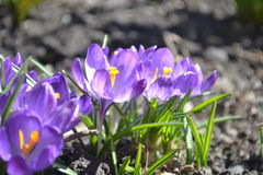 Violeta λουλούδια άνοιξη Στοκ Εικόνα