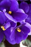 Violeta Imagens de Stock