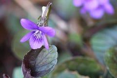 violeta Imágenes de archivo libres de regalías