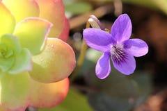 violeta Imagen de archivo libre de regalías