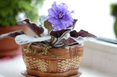 Violeta Foto de Stock
