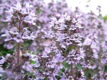 violeta Fotografía de archivo libre de regalías