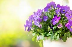 violeta foto de stock royalty free