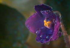 violeta Fotos de Stock Royalty Free