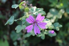 violeta Imagem de Stock