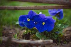 violeta Imagen de archivo