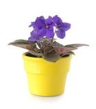Violeta africana Fotografia de Stock Royalty Free