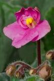 Violeta africana Imagem de Stock