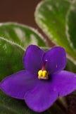 Violeta africana Imagens de Stock