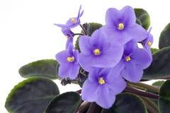 Violeta africana Imagens de Stock Royalty Free