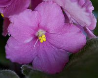Violeta africana cor-de-rosa Imagens de Stock