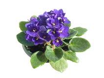 Violeta africana em pasta isolada no branco Fotos de Stock Royalty Free