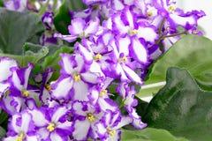 Violeta africana, ionantha do Saintpaulia Fotos de Stock Royalty Free