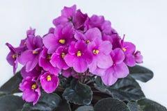 Violeta africana púrpura Imagen de archivo