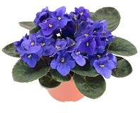 Violeta africana Potted (ionantha del Saintpaulia) Foto de archivo