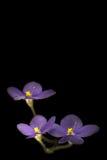 Violeta africana sobre negro imagenes de archivo