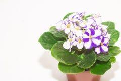 Violeta aislada en un fondo blanco Imagen de archivo libre de regalías