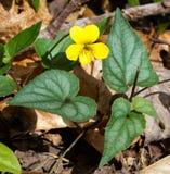 Violeta amarilla de Halberdleaf Fotos de archivo libres de regalías