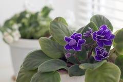 Violeta azul flores en potes en windowsi Foto de archivo libre de regalías