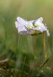 Violeta blanca 4 imagen de archivo