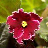 Violeta bonita Fotos de Stock
