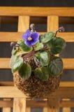 Violeta bonita em uma bola do musgo Fotografia de Stock Royalty Free