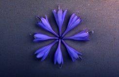 A violeta brota a luz da qualidade do estúdio Fotos de Stock